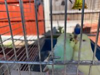 For Sale Bonded Pair Of Budgies