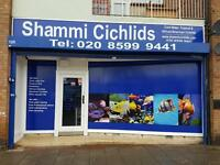 Shammi cichlids aquatics. Cold water fish, tropical fish, cichlids, discus