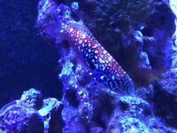Peacock Wrasse (Marine fish)