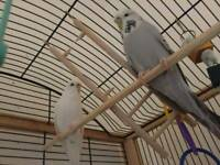 2 lovely unique budgies