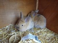 Lovely fluffy baby bunnies for sale. Father Lionhead, Mother Dutch cross. £20 each o.n.o.