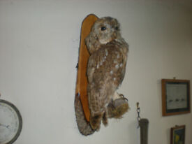 Taxidermy Owl