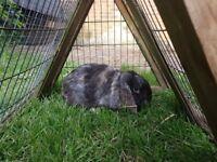 Buck Rabbit for sale - £15