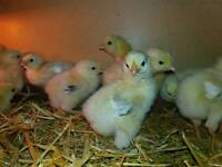 LIGHT SUSSEX CHICKS FEMALE 11 DAYS OLD