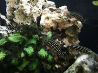 Tanganyika cichlid fry free to a good home, collection from North London