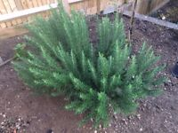 Very healthy and BIG rosemary plant herb bush shrub for collection.