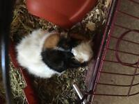 Free Guinea pig with cage and more