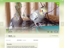 Cockatiels x 2 Tapping Wanneroo Area Preview