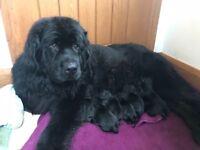 Newfoundland x Labrador puppies for sale