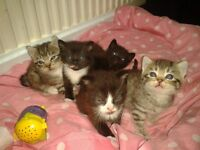 5, Beautifull 8 week old kittens ready for new homes.