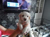poochons puppys