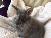 Lionhead Doe rabbit