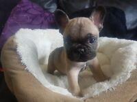 4 amazing french bulldog pups