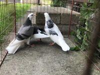 Birmingham Roller Pigeons For Sale