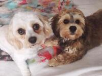 2 Cavachons to be rehomed