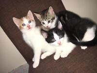 Kittens 🐱 each