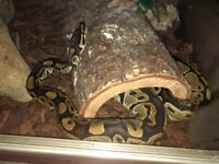 Royal python with complete vivarium set up