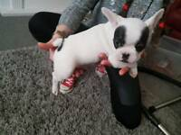 French bulldog puppy unique Frenchies lines jackpot