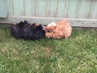 Pair of Female Guinea Pigs