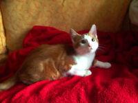 Male Ginger Kitten for £100