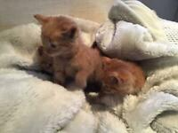 Lovely ginger male kittens - fully litter trained - flea & worm treated