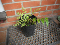 Plant for sale-A Mahonia plant in a 17 cm deep pot