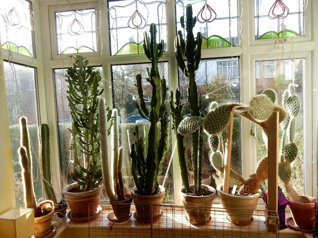 Big Cactus Cacti Collection For Loft Appartment Large Living Room House Plants Decoration Design