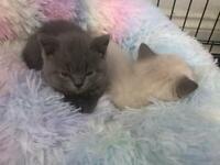 British shorthair kittens females