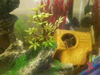 Synodontis Patricola catfish