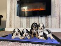 cocker spaniel pups for sale