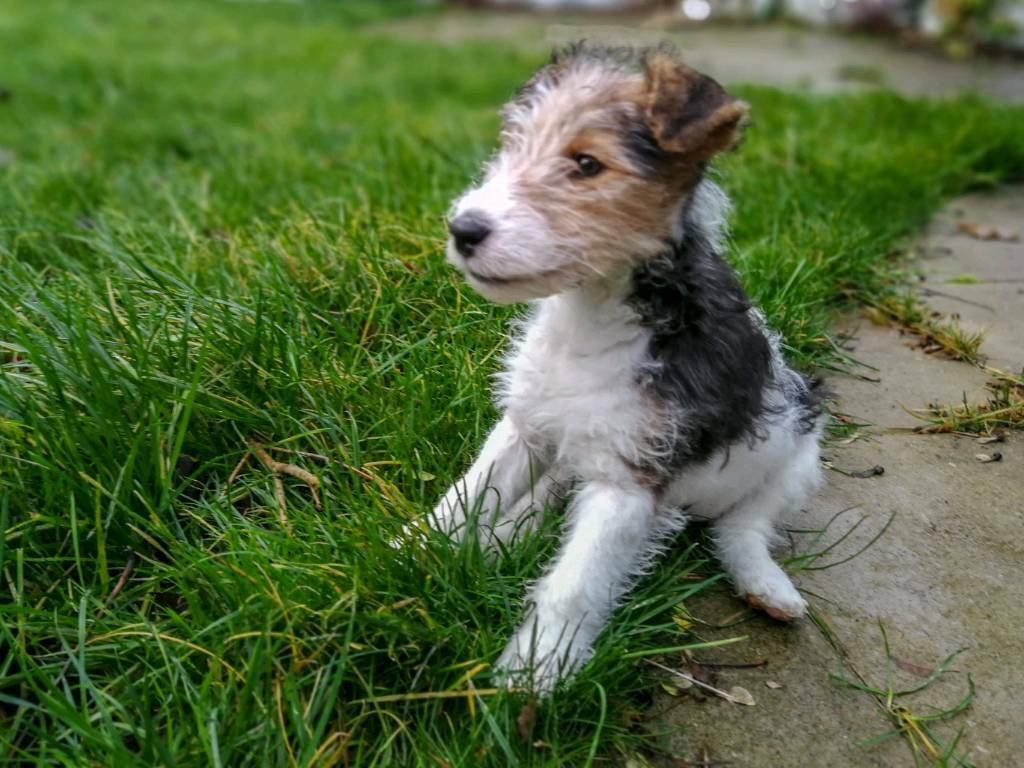 Free To Good Home Wirehaired Fox Terrier Puppy In Ravenhill
