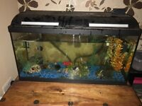 80L Fish Tank with 8 Mickey Mouse Platy and Fluval 206 External Filter