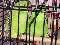 Two Indian ringnecks for just £250