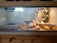 Bearded dragon with vivarium9