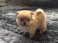 Pomeranian puppy's