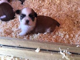 Pedigree Shitzu puppy's £600