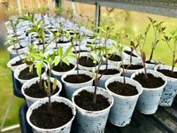 Tomato Plants 9 Varieties Available 50p each