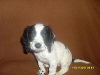 female sprocker puppy connahs quay