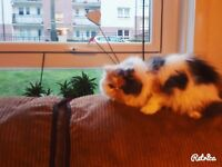 Female pedigree persian cat