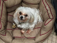 Maltese terrier for sale