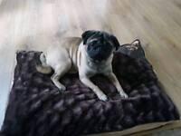 Full pedigree pug