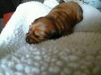 Miniture Dachshund puppies