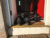 KC registered labrador puppies health checked parents