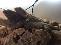 2 bearded dragons make and female