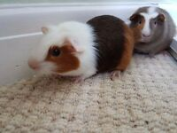 Cute Little Guinea Pigs (Salt and Pepper) with cage - 95 GBP