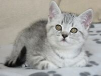 *Ready Now!* Stunning Registered Pedigree British Shorthair kittens