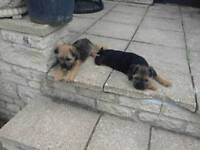 Loverly border terrier puppies.