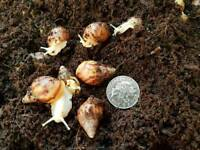 Giant african land snails,Achatina