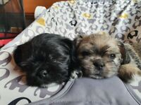 Shih poo x pug puppies - ready to leave now