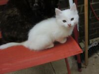 2 x white kittens 8weeks old ready to go to new home